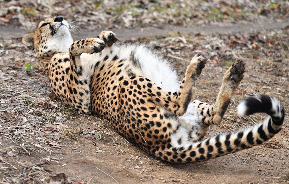 Гепард (acinonyx jubatus) в Московском зоопарке