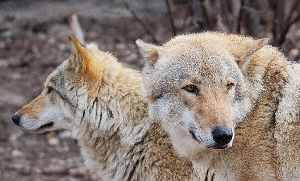 Европейские волки (canis lupus) в Московском зоопарке
