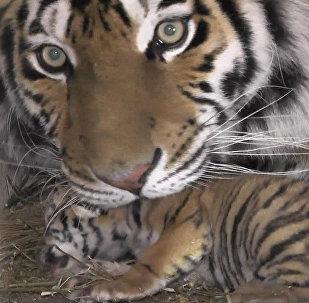 Strīpainie trīnīši: Krimas safari parkā pasaulē nākuši Amūras tīģerēni