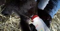Meža brāļi: Krasnojarskas novadā izglābti četri lācēni