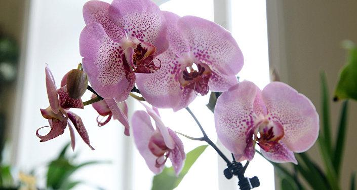 Орхидею фаленопсис в народе называют орхидея-бабочка и она имеет самую широкую гамму оттенков