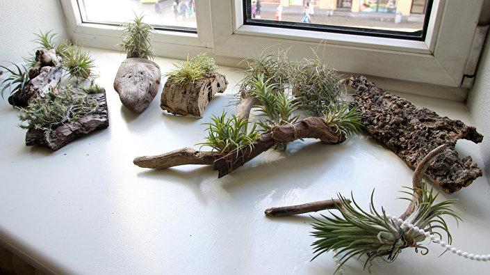 Тилландсия - род травянистых эпифитных вечнозелёных растений семейства Бромелиевые