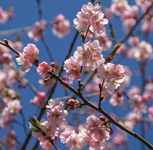 Цветение сакуры в Риге