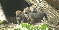 Волчата исследовали территорию и дрались за внимание мамы в зоопарке США