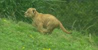 Lauvēna pirmā pastaiga Dalasas zooparkā