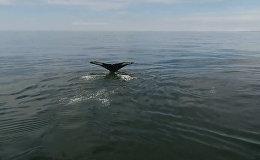 У берегов Камчатки обнаружили 12 горбатых китов. Кадры с дрона
