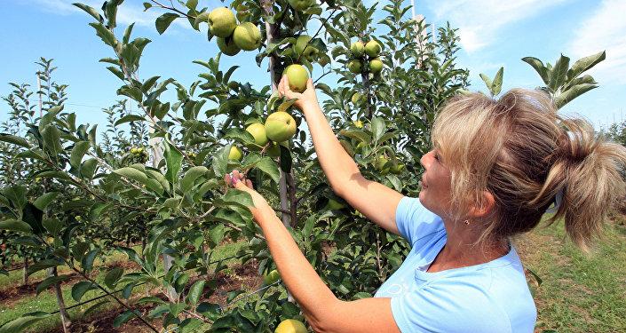 Уборка урожая яблок