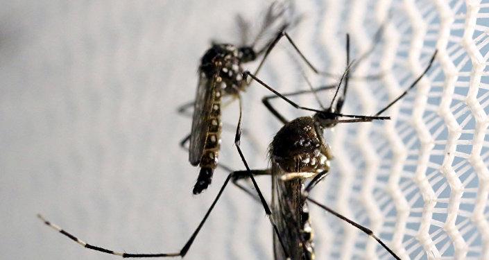 Комары вида aedes aegypti в лаборатории в Бразилии. Архивное фото