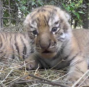 Амурские тигрята в Крыму