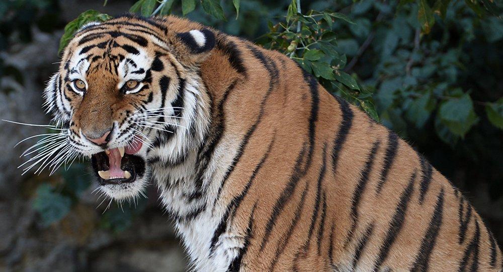 Амурский тигр измосковского зоопарка отправился вСША к«невесте»