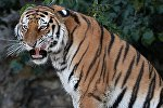 Амурский тигр Умар в Московском зоопарке