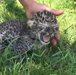 Krimas safari parkā piedzimis leoparda mazulis