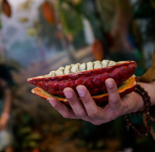 Именно индейцы в древности изобрели первый шоколадный напиток Плод какао в разрезе