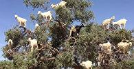 Kazu saime izklīdusi argānas koka zaros Marokā