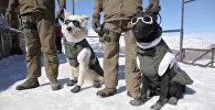 Astes ar brillēm un zābakiem: Čīlē parādīja patruļas suņus darba ekipējumā
