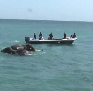 Pie Šrilankas krastiem karavīri izglāba divus ziloņus