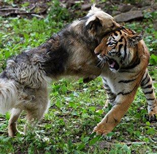 Тигренок Шерхан и собака Табаки в Приморском сафари-парке