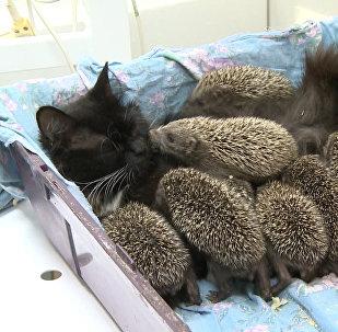 Кошка усыновила ежат