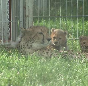 Gādīga gepardu māmiņa izvedusi pastaigā mazuļus