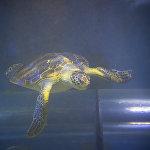 Глубоководная черепаха