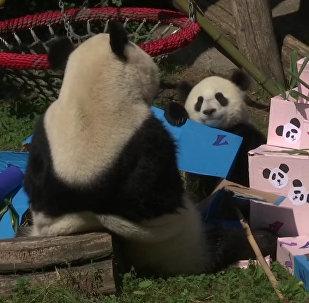 День рождения панд-близнецов  в венском зоопарке