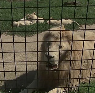 Lieliskais piecinieks: čehu zoodārzā piedzimuši baltie lauvēni