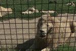 В зоопраке Dvorec в чешской Боровани в мае родились 5 белых львят