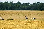Аисты кормятся остатками урожая