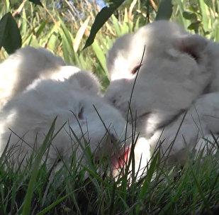 Четыре белых львенка в Крыму