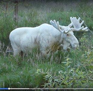 Neparasts meža iemītnieks: Zviedrijas iedzīvotājs sastapies ar baltu alni