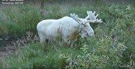 Швед заснял в лесу купание уникального белого лося-мутанта