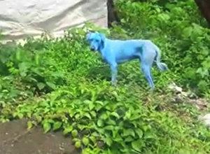 Mumbajas ielās parādījušies gaišzili suņi