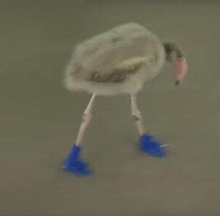 Птенца фламинго по имени Сквиш обули в сапожки