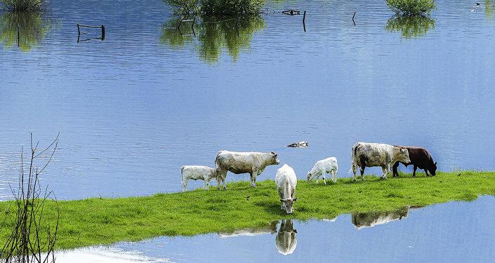 Наводнение и коровы