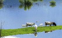 Plūdi un govis