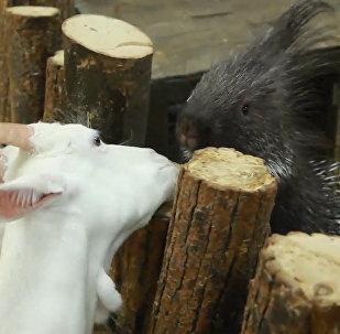 Ufas saskarsmes zooloģiskajā dārzā kaza iemīlējusies dzeloņcūkā