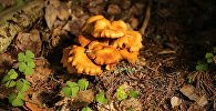 Съедобный гриб - лисичка