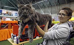 Мейн-кун, самая крупная порода домашних кошек