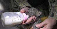 Детеныш дальневосточного леопарда родился в ялтинском зоопарке