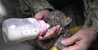 Jaltā piedzimis retā Amūras leoparda mazulis