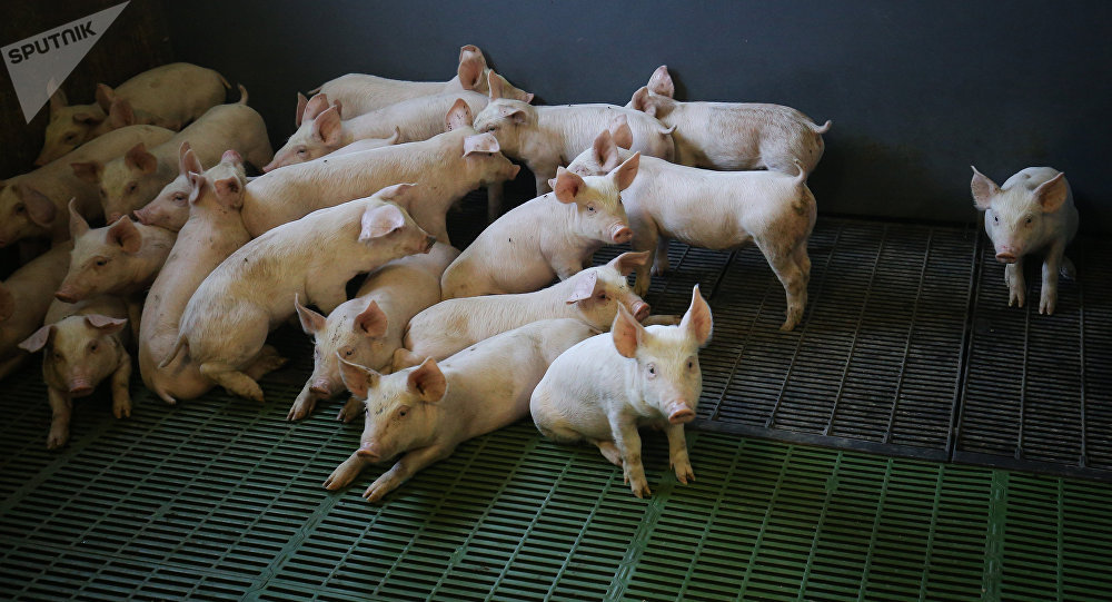 Свиньи в стойле на мясоперерабатывающем комбинате