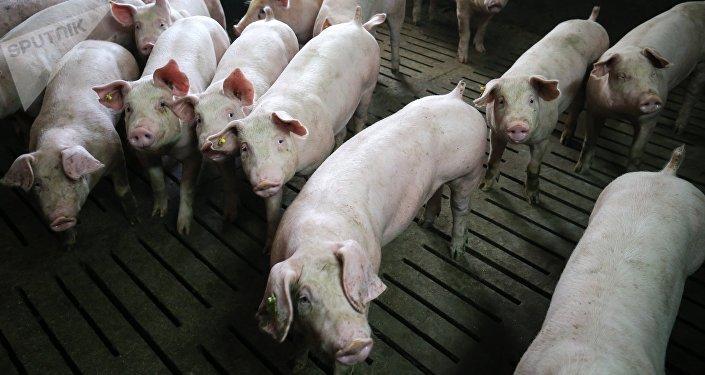 Свиньи в стойле