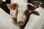 Свиньи в стойле, архивное фото