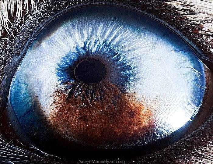 Глаз собаки хаски