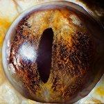 Глаз тигрового питона (альбинос)