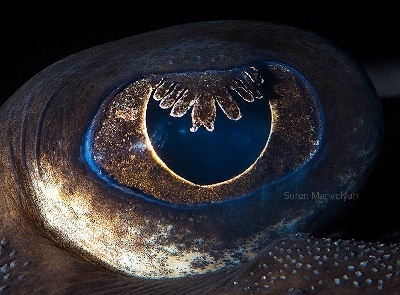 Глаз морской лисицы