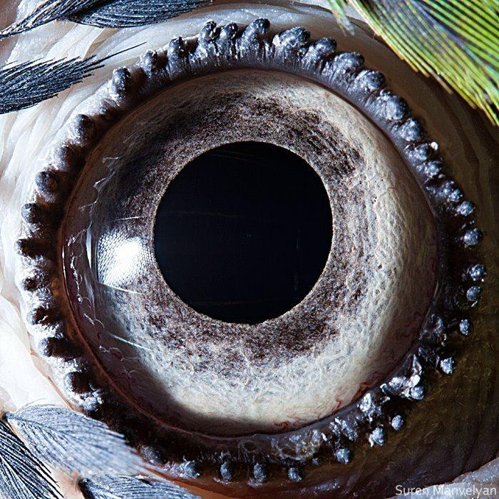 Глаз сине-желтого попугая