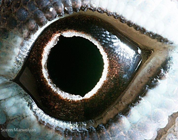 Глаз ящерицы анолис