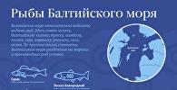 Рыбы Балтийского моря