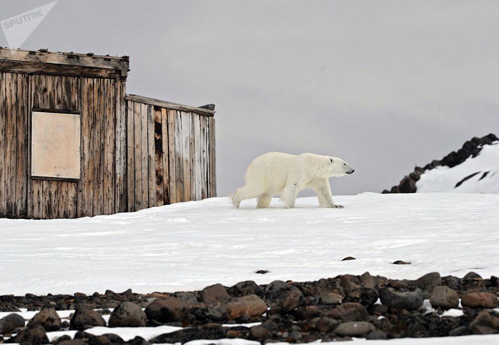 Белый медведь на территории полярной станции на берегу бухты Тихая на острове Гукера архипелага Земля Франца-Иосифа